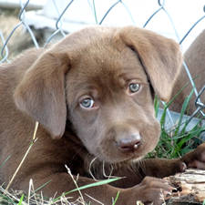 Chocolate lab breeders richmond va – Dogs in our life photo blog